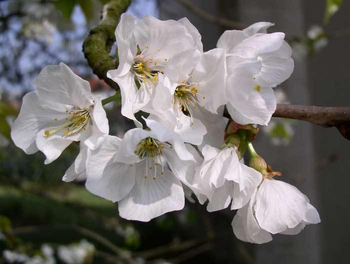 http://websvt.free.fr/photo/cerisier/cerisier-fleur.jpg